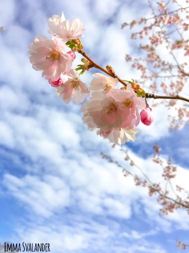 körsbärsblommor på gren