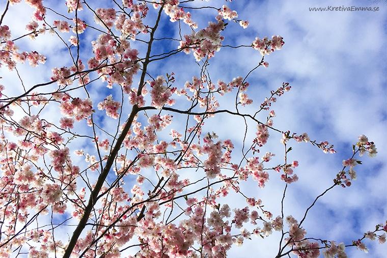 körsbärsblommor mot blå himmel