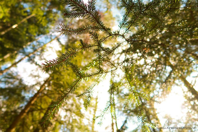 barrträd fotade mot himlen