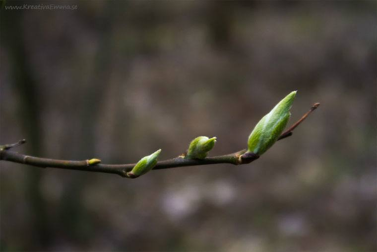 knoppar på gren