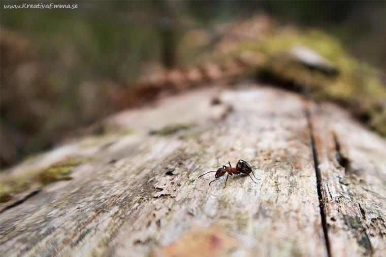 myra på stock i skogen vår